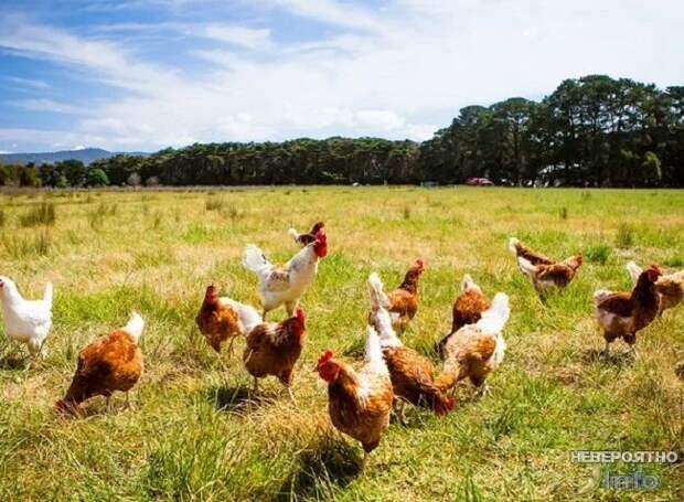 Почему курицы боятся креста