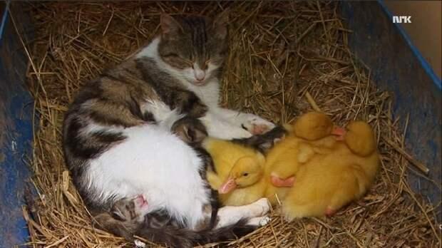 13. Это кошка усыновила утят  год, кот, событие