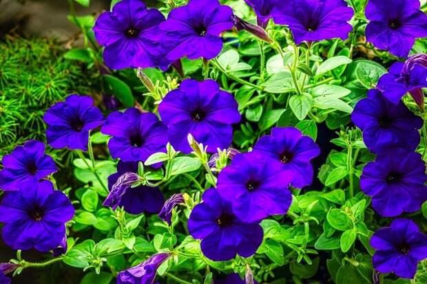 Многоцветковая петуния глубокого синего цвета