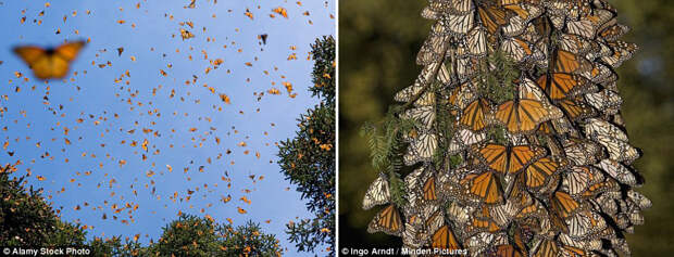 Миграция бабочек вида данаида монарх