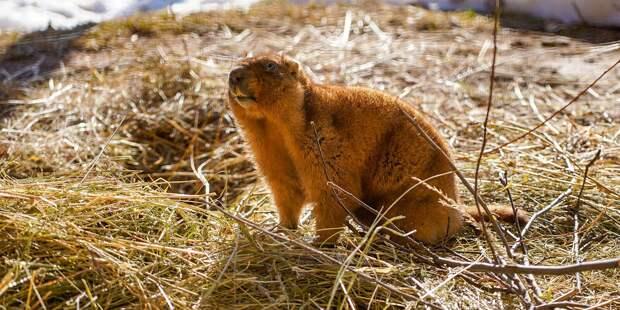 Сурки в Московском зоопарке первыми вышли из спячки