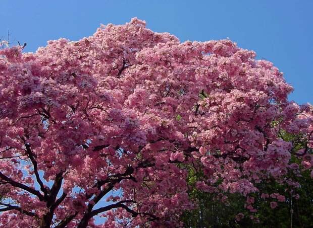Весна! В Мексике зацвела хакаранда и другие деревья