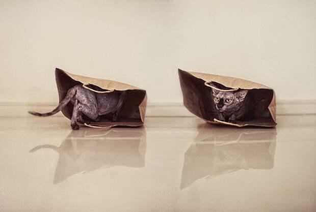 Сфинксы в фотографиях Serena Hodson