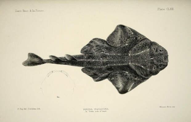 6. Плоскотелые акулы (морские ангелы), которые хотели бы, чтобы к ним перестали относиться как к виду скатов. акулы, животные, обожание, рыбы, факты