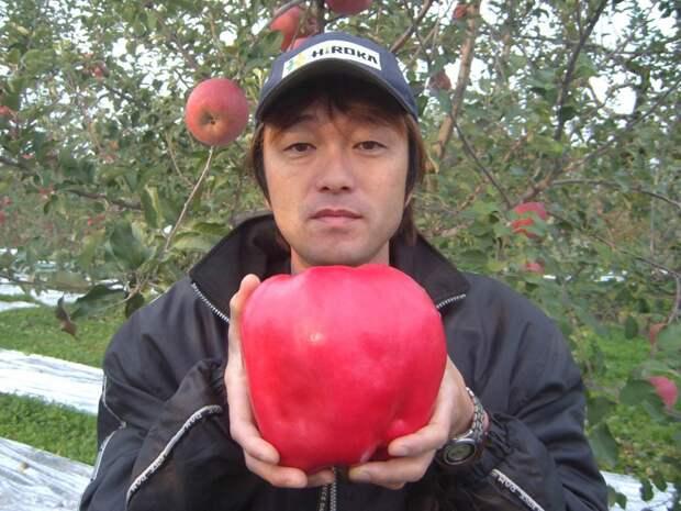 Яблоко весом 2 килограмма. огород, самые большие овощи, урожай