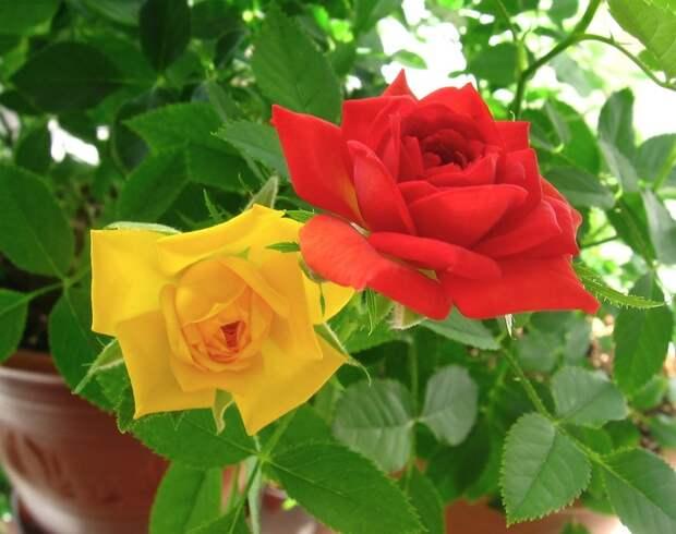 Домашнее чудо: правильный уход за комнатными розами