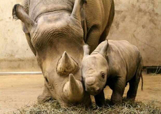 Носороги детеныши, дети, животные, забота, звери