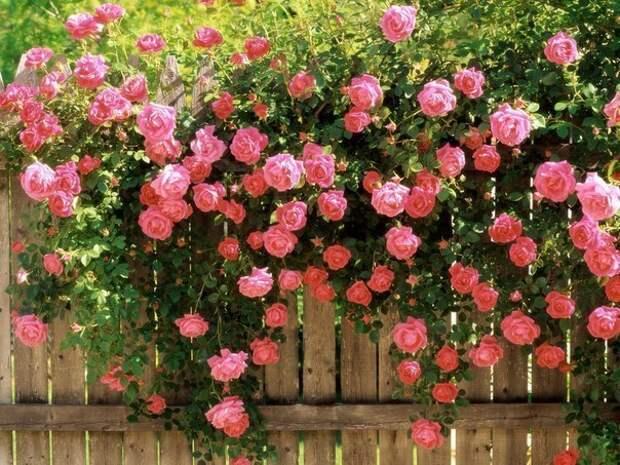 """""""Лучше роз могут быть только розы"""" украшаем свой сад"""