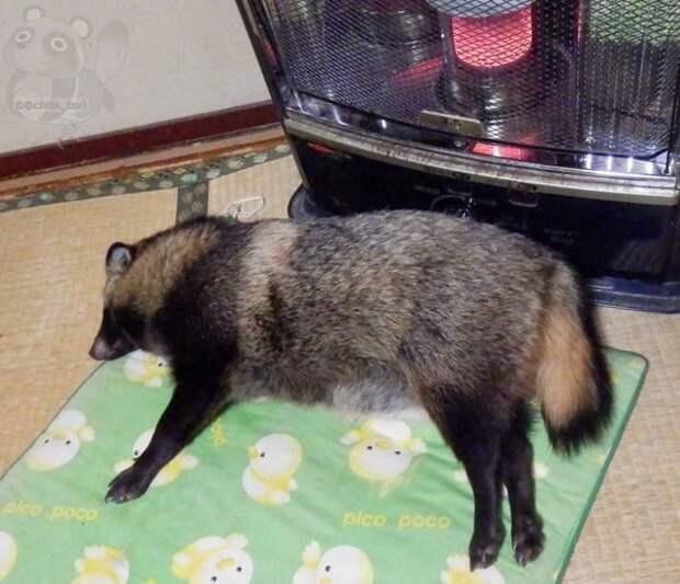 Так как на дворе сейчас зима, он большую часть времени проводит в спячке енотовидная собака, животные, тануки