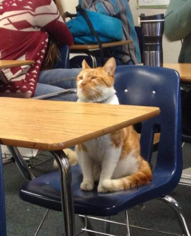 Рыжий кот так часто захаживал в школу, что ему даже сделали собственное удостоверение.