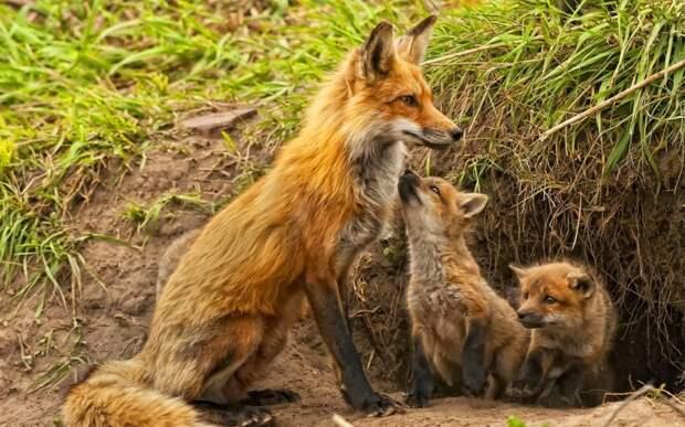 Лисы детеныши, дети, животные, забота, звери