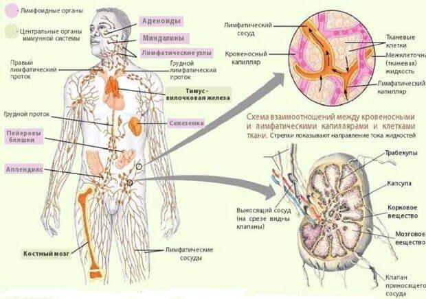Уникальный рецепт очищения и лечения всей лимфатической системы