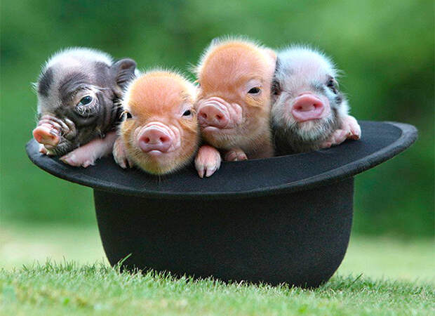 Миниатюрные свинки