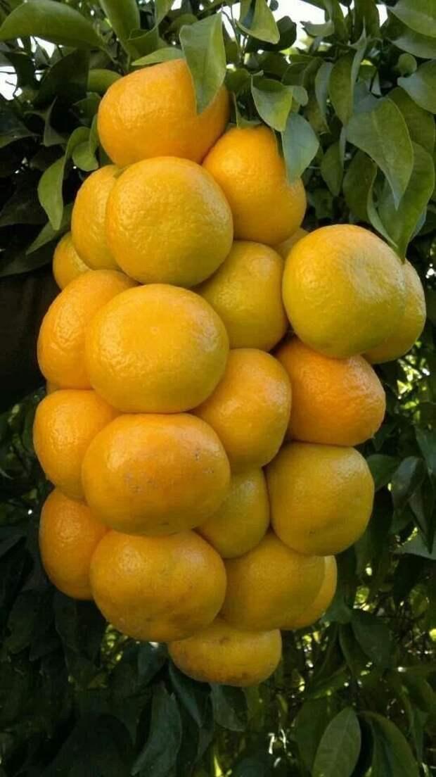 Мандарины еда, изобилие, красиво, растения, урожай