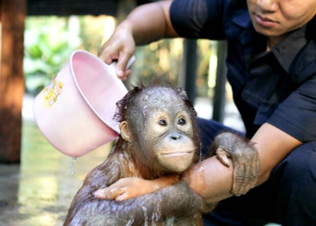 Водичка-водичка, умой мое личико: купание крошки-орангутана