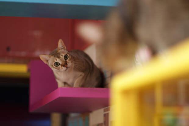 В Корее, Японии и ряде других стран имеются кошачьи кафе, где можно не только выпить чашку кофе, но и провести время в компании животных. (Takashi Hososhima)