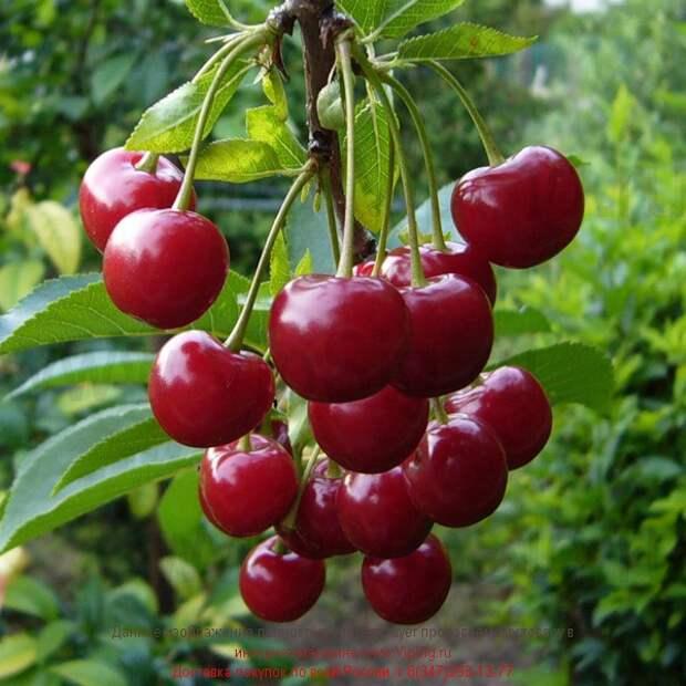 Самые интересные сорта вишни для маленьких садов