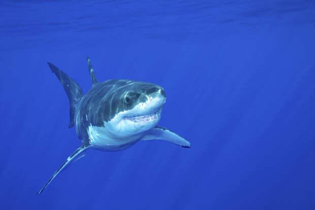 13. Я часто хожу на первые свидания, но крайне редко на вторые...Это странно? Белая акула, фото
