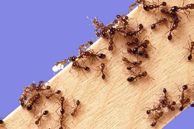 Если в доме появились муравьи… - Новости - Администрация Железнодорожного  района