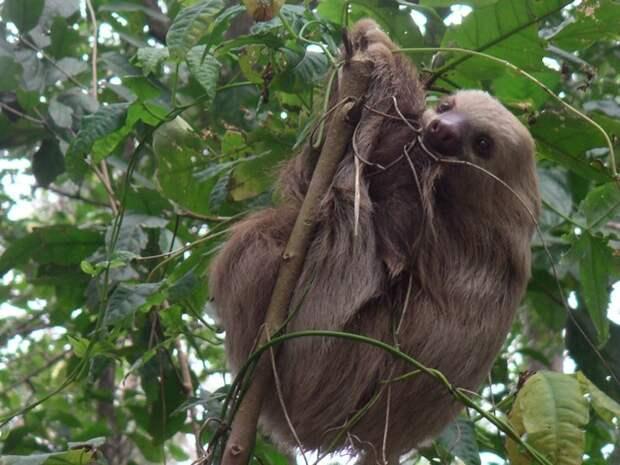 17 удивительных фактов о ленивцах 2