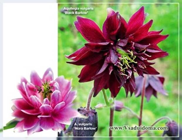 Аквилегия (фото) — посадка и уход за цветком