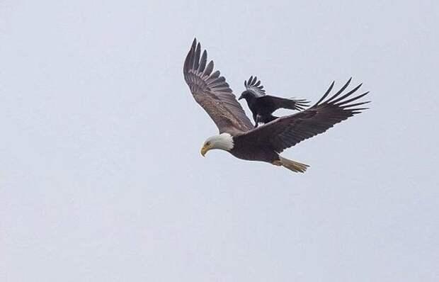 Ворон немного отдохнул на спине орла во время полета ворон, орел