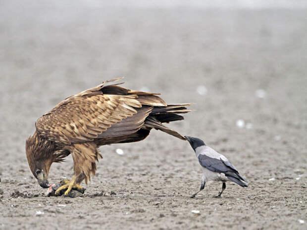 crows-tease-animals-peck-bite-tails-trolls-corvids-4