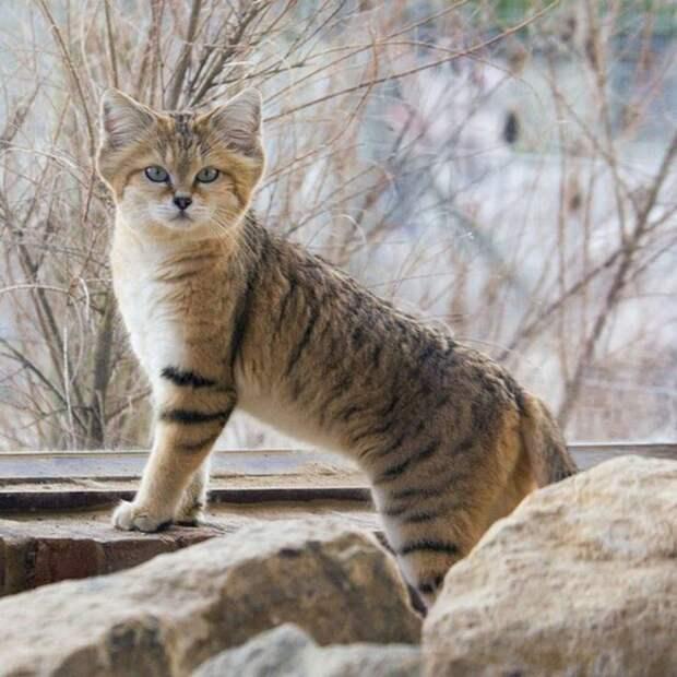 14. Барханная (песчаная) кошка кошки, природа