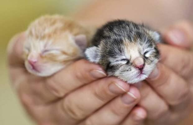 Курица стала матерью котятам и теперь их «высиживает»