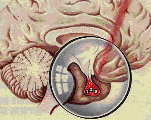 Железы и гормоны человеческого организма. Гипофиз