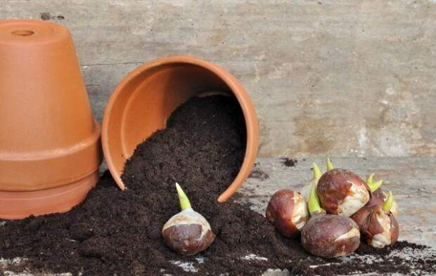 Проросшие луковицы тюльпана