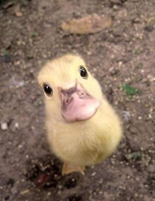 живая утка и утиное лицо