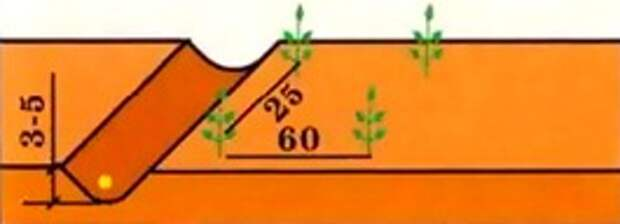 Сроки посева, схема размещения и уборки зеленых культур