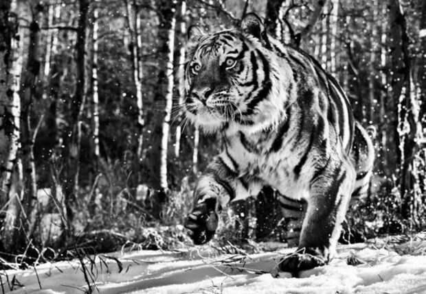 Черно-белое совершенство дикой природы