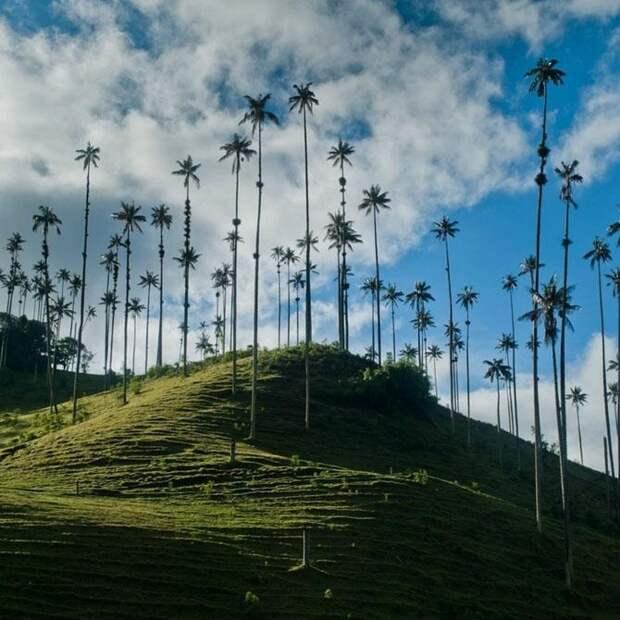 Долина восконосных пальм в Колумбии
