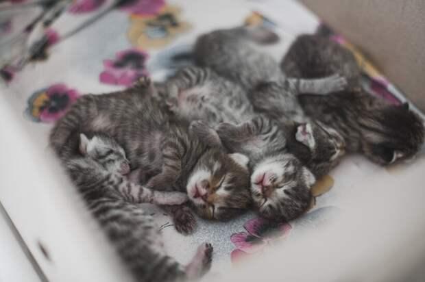 Глазки котята начинают открывать примерно в возрасте двух недель, иногда раньше или позже