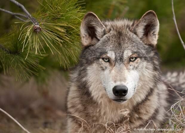 Как волк стал собакой и лучшим другом человека