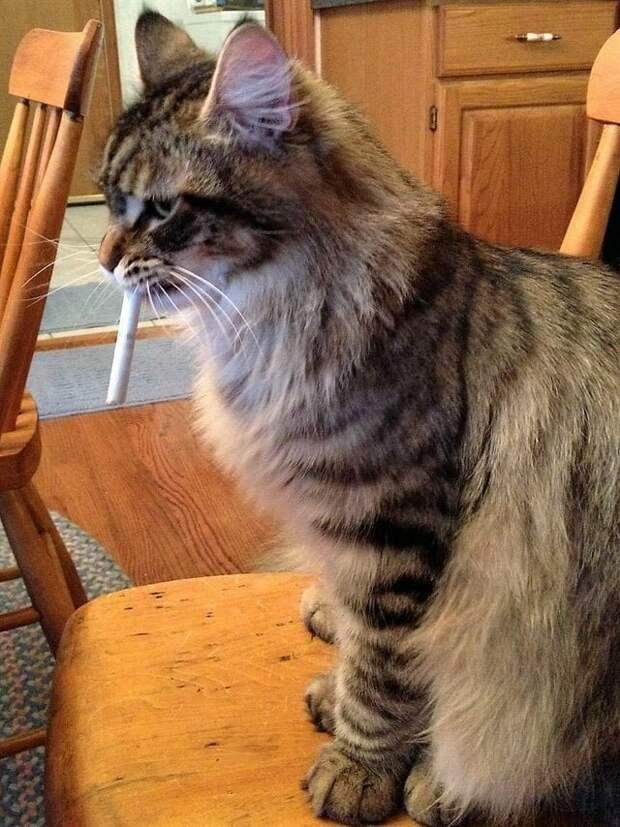 8. «Мейн-кун моего друга крадёт его сигареты и прячет их по дому» домашний питомец, животные, забавно, кот, мейн-кун, фото, юмор