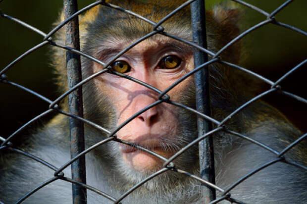 Зачем в Индии арестовывают обезьян