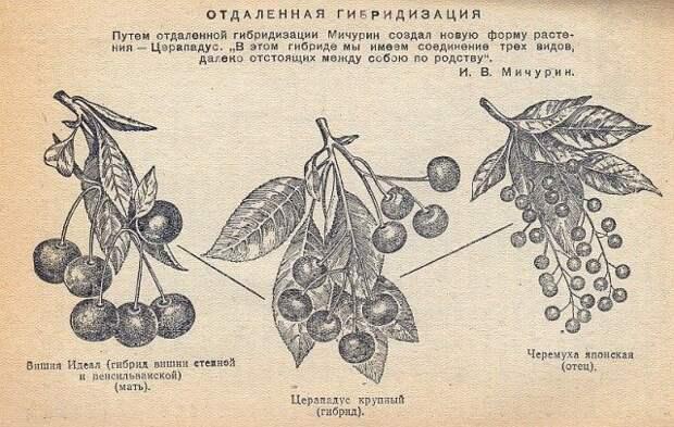 Иллюстрация из работ по гибридизации видов Мичурина И.В.