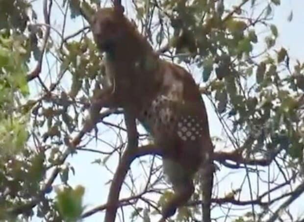 Индийский леопард погнался за обезьяной и застрял на дереве