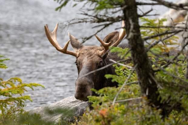 В Удмуртии 22 октября начнут выдавать разрешения на добычу лося