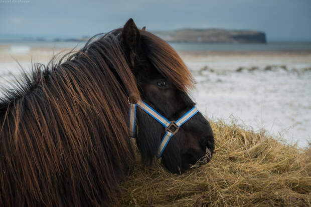 Исландские лошадки