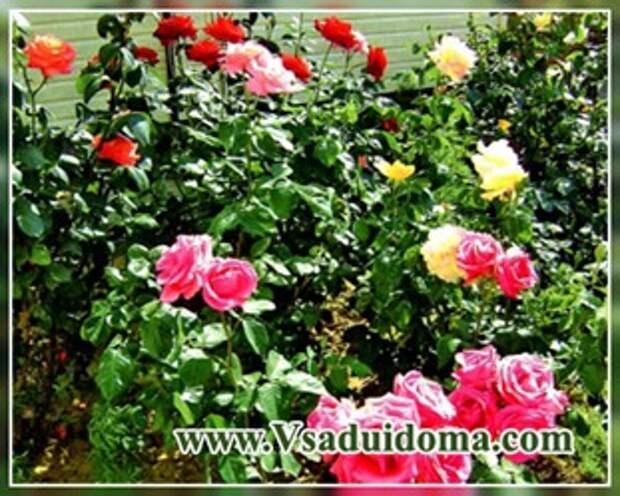 Сажаем розы правильно (способы посадки)