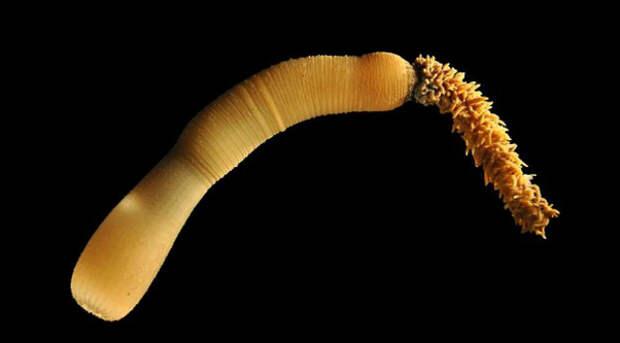 Данное исследование основывается на другой научной работе, целью которой было изучение генов, экспрессируемых в ходе развития кишечника, желудка и ануса червя-приапулиды (фото Bruno Vellutini/Sars International Centre of Marine Molecular Biology).