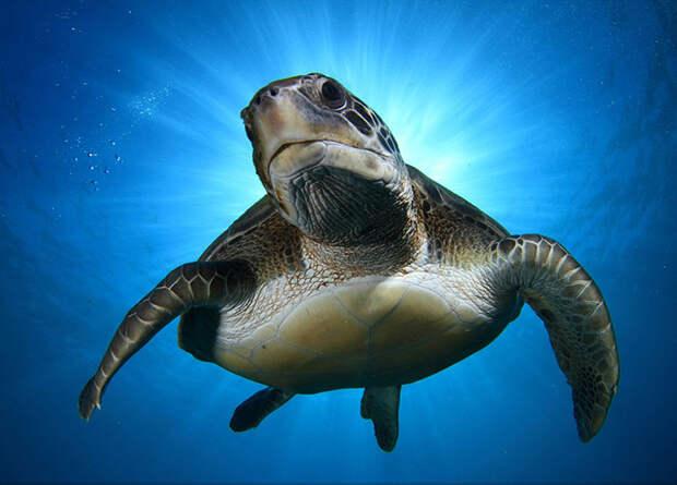 Зеленая черепаха спускается вниз в ореоле солнечного света (Montse Grillo, Канарские острова).