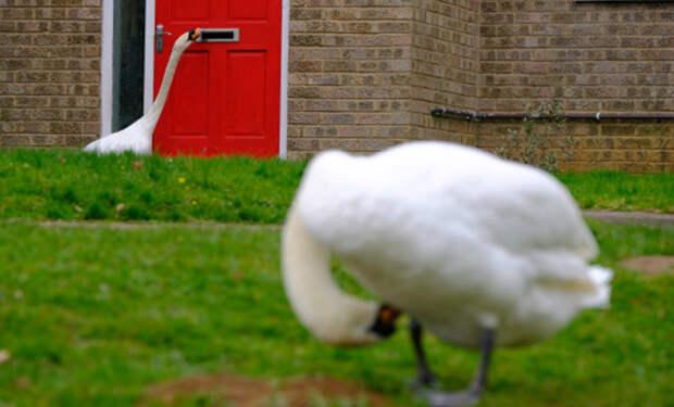 Лебедь осаждает британский город: он часами стучит во входные двери местных жителей и гремит почтовыми ящиками