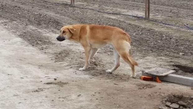 Пес одиноко стоял у обочины, где его навсегда оставил хозяин