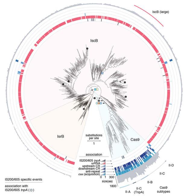 Системы типа CRISPR-Cas9 широко распространены и имеют множество вариантов