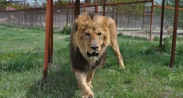 В Крыму лев запрыгнул в авто к туристам (ВИДЕО)